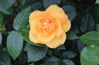 bernstein-rose