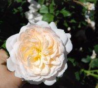 crocus-rose