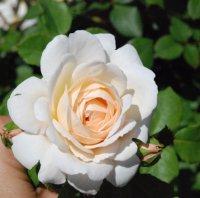 crocus-rosea