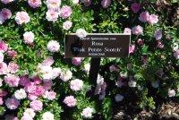 pink-petite-scotch