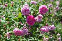 caldwel-pink