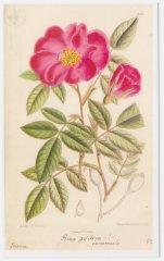 rosa-galica-incarnata