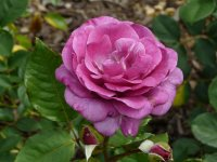 violette-parfumee-dorient