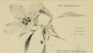 berberifolia