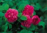 la-reine-fot-antuque-rose-emporium.jpg