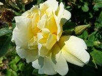 yellow-dagmar-hastrup