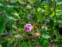 multiflora-de-griferaie