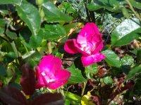 purpurea-chenault-jpg2_