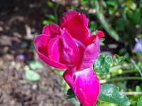 purpurea-chenault