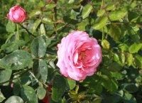 rosan-a