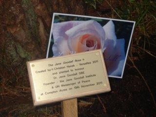 jane-goodall-rose
