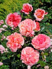 roses_lyonnaises-rioloco