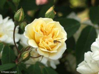 roses_lyonnaises-melle_claire_jacquier