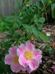 rosa-arkansana-peppermint-2