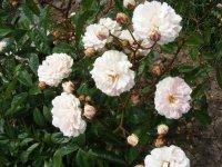 marie-rose-truff