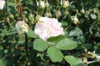 rosemoor2