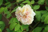 desprez-fleur-jaune