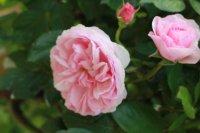 olivia-rose-lea