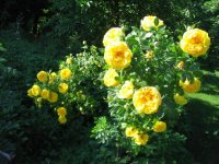 persian-yellow.jpg