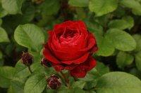 red-abundancea