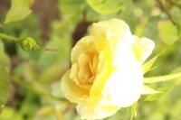 golden-silk
