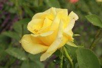 golden-silk2
