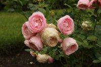 hans-gonewein-rose