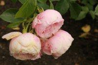 hans-gonewein-rose0