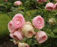 hans-gonewein-rose9