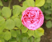 pink-piano541