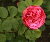 pink-piano542