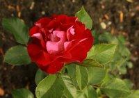 rose-der-einheit