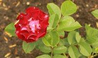 rose-der-einheit3
