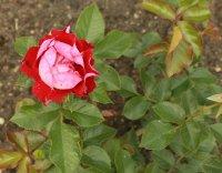 rose-der-eninheit