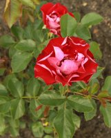 rose-der-eninheit5