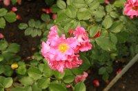 unicef-rose