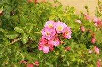 unicef-rose2