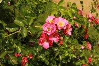 unicef-rose3