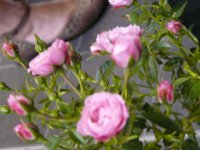 blush-pixie-a