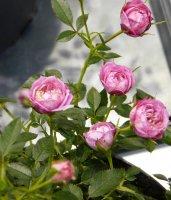 blush-pixie2