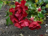 centro-rose2