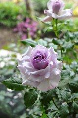 nicole-carol-lilac-beauty