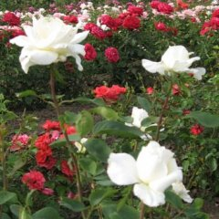 portugaliai-st-erzsebet-tea-rose-rozsa-52-rmg