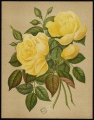 cocquette-de-lyon-le-livre-dor-des-roses-paul-hariot-1903_0138