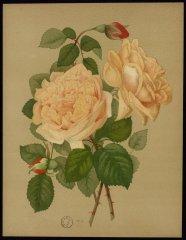 gloire-de-dijon-le-livre-dor-des-roses-paul-hariot-1903_0142