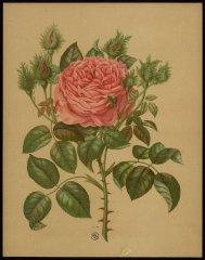 le-cristata-livre-dor-des-roses-paul-hariot-1903_0257