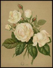 le-madame-melianie-villermoz-livre-dor-des-roses-paul-hariot-1903_0156