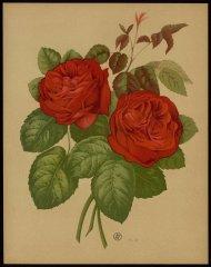 le-mistress-hary-turner-livre-dor-des-roses-paul-hariot-1903