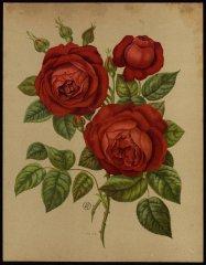 le-prefet-de-limbourg-livre-dor-des-roses-paul-hariot-1903_
