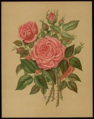 le-princesse-mary-of-cmbridge-livre-dor-des-roses-paul-hariot-1903_0251